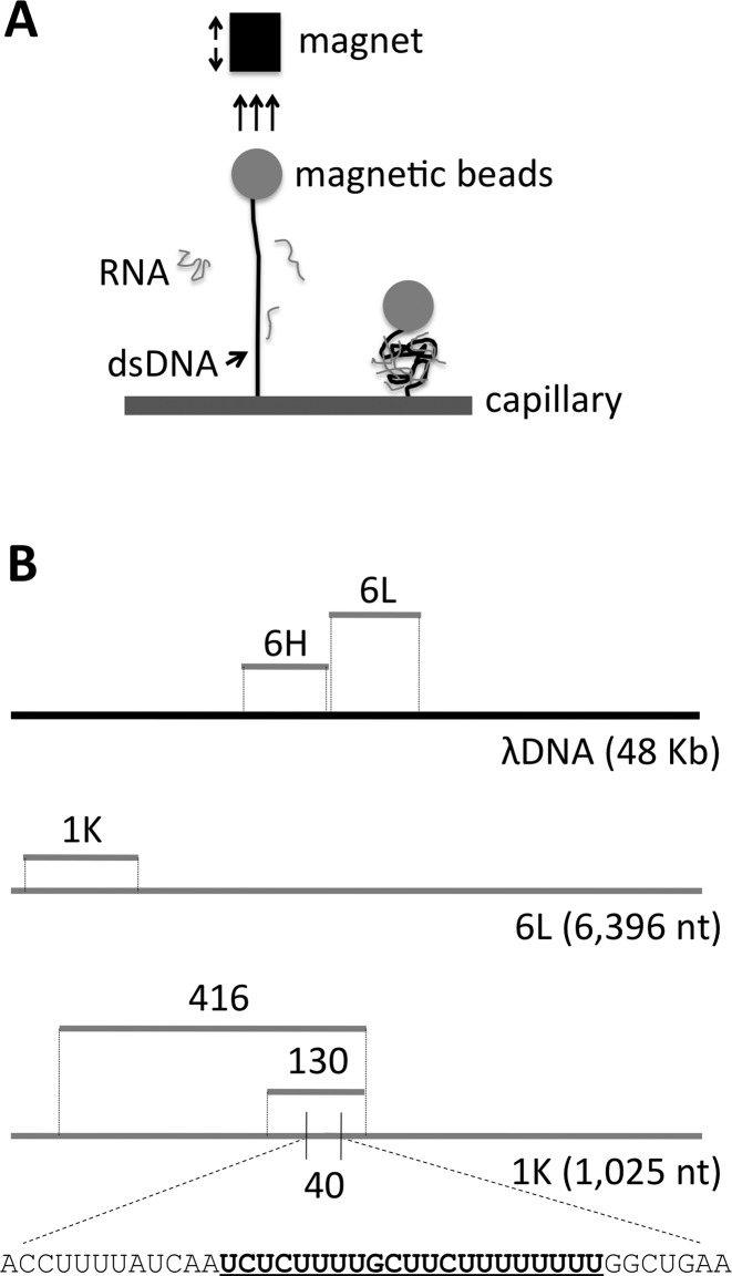 Schematic diagram of the experimental design. ( A ) Schematic representation of the assay for measuring the extension of dsDNA due to the binding of RNA. ( B ) Sequences to which analyzed RNAs are homologous. 6L = 6,396-nt low G+C content RNA and 6H = 6,107-nt high G+C content RNA; positions shown relative to full length λ DNA template (black line). 1K = a 1025-nt subsegment of 6L. 416, 130 and 40 are subsegments of 1K. Gray lines denote ssRNAs. A predicted nucleic acid triple helices target site in the 40nt RNA is bold and underlined within the total sequence.