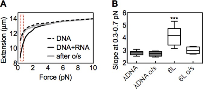 Overstretching (o/s) abolishes the effect of long ssRNA. ( A ) Representative force extension curves in the presence or absence of ssRNA 6L (DNA:RNA mol ratio = 1:1000). One bead/dsDNA ensemble was initially followed and extended till about 10 pN (black solid curve). Subsequently a small tip was placed on the stack of magnets to achieve forces till about 70 pN (Materials and Methods; text). This bead/dsDNA exhibited a sudden change in extension that corresponds to the overstretching transition (not shown). The magnet was then slowly moved away from the glass surface to allow the molecule to recoil, and the tip was removed from the stack of magnets. Finally a second curve was measured with the stack of magnets up to a force of about 10 pN (gray curve). A typical force–extension curve for λ dsDNA in the absence of RNA is shown for comparison (dashed curve). The dashed bracket indicates the low force region (0.3–0.7 pN). ( B ) The box-and-whisker plot (Materials and Methods) displays the slope changes at low force region (0.3–0.7 pN) before or after overstretching (o/s). The statistical analysis was performed for λ dsDNA before overstretching versus all other samples. n = 10, *** P