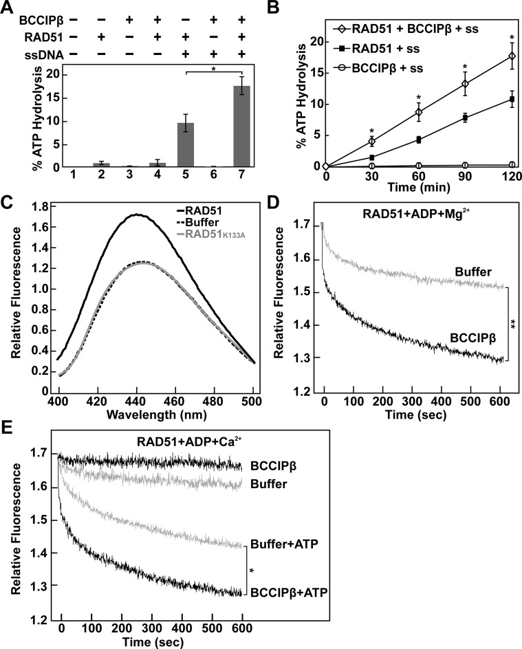 BCCIPβ stimulates RAD51 ATP hydrolysis and promotes ADP release. ( A ) RAD51 (0.5 μM) ATP hydrolysis assay in the presence or absence of ϕX174 ssDNA (60 μM nucleotides) and BCCIPβ (1 μM). ( B ) Time course analysis of RAD51 (0.5 μM) ATP hydrolysis in the presence of ϕX174 ssDNA (60 μM nucleotides), with or without BCCIPβ (1 μM). Error bars represent s.e.m. ( n = 3); P -value *
