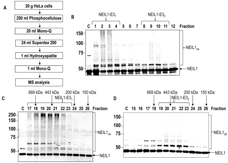 Initial purification of the E3 ubiquitin ligases for NEIL1. ( A ) Scheme for the purification of the E3 ubiquitin ligases for NEIL1 from HeLa cell extracts. ( B ) In vitro ubiquitylation of His-tagged NEIL1 by fractions obtained from the first ion exchange (Mono Q) chromatography. ( C and D ) In vitro ubiquitylation of His-tagged NEIL1 by fractions obtained from size exclusion (Superdex 200) chromatography containing ( C ) NEIL1-E3 1 or ( D ) NEIL1-E3 2 . Shown above the figures are the positions of elution of known molecular weight standards. In all experiments, in vitro ubiquitylation of His-tagged NEIL1 (4.6 pmol) was performed in the presence of E1 activating enzyme (0.7 pmol), ubiquitin (0.6 nmol; Ub) and all E2 conjugating enzymes (2.5 pmol) and analysed by 10% SDS-PAGE and immunoblotting using His-tag antibodies. Molecular weight markers are indicated on the left hand side of appropriate figures and the positions of unmodified and ubiquitylated NEIL1 (NEIL1 ub ) are shown.