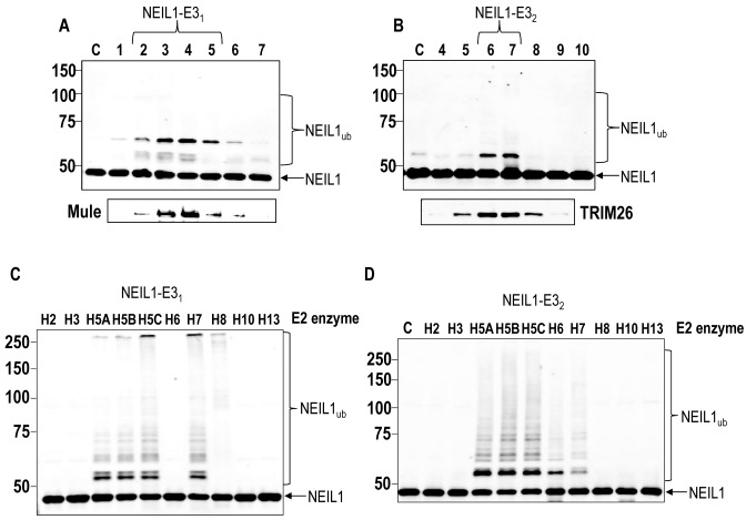 Identification of Mule and TRIM26 as E3 ubiquitin ligases for NEIL1. ( A and B ) In vitro ubiquitylation of His-tagged NEIL1 by fractions obtained from the final 1 ml Mono Q chromatography containing (A) NEIL1-E3 1 or (B) NEIL1-E3 2 . Below each figure is the alignment of active fractions with either Mule or TRIM26, respectively as detected by Western blotting. ( C and D ) In vitro ubiquitylation of His-tagged NEIL1 by an active fraction purified from HeLa whole cell extracts containing either (C) NEIL1-E3 1 or (D) NEIL1-E3 2 in the presence of individual E2 conjugating enzymes. In all experiments, in vitro ubiquitylation of His-tagged NEIL1 (4.6 pmol) was performed in the presence of E1 activating enzyme (0.7 pmol), ubiquitin (0.6 nmol; Ub) and E2 conjugating enzymes (2.5 pmol) and analysed by 10% SDS-PAGE and immunoblotting using His-tag antibodies. Molecular weight markers are indicated on the left hand side of appropriate figures and the positions of unmodified and ubiquitylated NEIL1 (NEIL1 ub ) are shown.