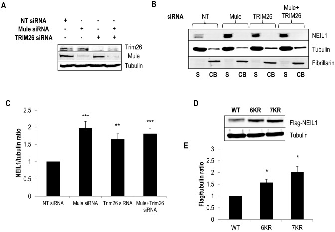 Cellular steady state NEIL1 protein levels are regulated by Mule and TRIM26. ( A–C ) U2OS cells were grown in 10 cm dishes for 24 h to 30–50% confluency and then treated with Lipofectamine RNAiMAX transfection reagent (10 μl) in the presence of 200 pmol non-targeting (NT), Mule and/or TRIM26 siRNA for 72 h. (A) Whole cell extracts were prepared and analysed by 10% SDS-PAGE and immunoblotting with the indicated antibodies. ( B ) Proteins were separated by biochemical fractionation, and the soluble (S) and chromatin bound (CB) fractions analysed by 10% SDS-PAGE and immunoblotting with the indicated antibodies. (C) Levels of NEIL1 protein relative to tubulin in the soluble fraction were quantified from at least three independent experiments. Shown is the mean NEIL1/tubulin ratio with standard errors normalised to the non-targeting (NT) siRNA-treated control which was set to 1.0. ( D ) U2OS cells were grown in 10 cm dishes for 24 h to ∼90% confluency and then treated with Lipofectamine 2000 transfection reagent (10 μl) in the presence of 150 ng mammalian expression plasmids for Flag-tagged wild type (WT) or NEIL1 mutants (6KR = K333/356/357/361/374/376R; 7KR = K319/333/356/357/361/374/ 376R) for 24 h. Whole cell extracts were prepared and analysed by 10% SDS-PAGE and immunoblotting with the indicated antibodies. ( E ) Levels of Flag-tagged NEIL1 proteins relative to tubulin were quantified from at least three independent experiments. Shown is the mean Flag-NEIL1/tubulin ratio with standard errors normalised to the WT-NEIL1 transfected cells which was set to 1.0. * P