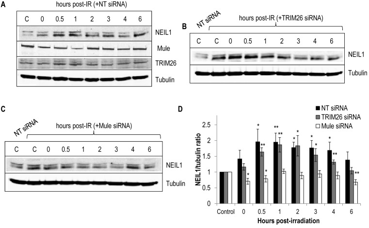 Cellular NEIL protein levels are induced in response to ionising radiation in a Mule-dependent manner. ( A–C ) U2OS cells were grown in 10 cm dishes for 24 h to 30–50% confluency and then treated with Lipofectamine RNAiMAX transfection reagent (10 μl) in (A) presence of non-targeting (NT) siRNA, ( B ) 200 pmol TRIM26 siRNA or (C) 200 pmol Mule siRNA for 72 h. Cells were subsequently irradiated (10 Gy) and harvested at the various time points post-irradiation. Whole cell extracts were prepared and analysed by 10% SDS-PAGE and immunoblotting with the indicated antibodies. C refers to unirradiated control in either the presence of non-targeting (NT), Mule or TRIM26 siRNA. ( D ) Levels of NEIL1 protein relative to tubulin were quantified from at least three independent experiments. Shown is the mean NEIL1/tubulin ratio with standard errors normalised to the unirradiated control which was set to 1.0. * P
