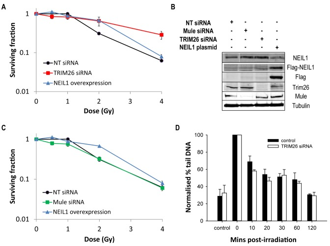 TRIM26 controls cellular sensitivity to IR. ( A–C ) U2OS cells were grown in 10 cm dishes for 24 h to 30–50% confluency and then treated with Lipofectamine RNAiMAX transfection reagent (10 μl) in the presence of 200 pmol non-targeting (NT) siRNA, TRIM26 siRNA or Mule siRNA for 72 h. U2OS cells were also treated with Lipofectamine 2000 transfection reagent (10 μl) in the presence of 500 ng mammalian expression plasmid for NEIL1 (NEIL1 overexpression) for 24 h. (A and C) Clonogenic survival of cells was analysed following treatment with increasing doses of ionising radiation (0–4 Gy). Shown is the surviving fraction with standard error of the mean from at least three independent experiments. ( B ) Whole cell extracts were prepared and analysed by 10% SDS-PAGE and immunoblotting with the indicated antibodies. ( D ) Cells were irradiated (1.5 Gy) and DNA single strand breaks and alkali labile sites measured at various time points post-irradiation by the alkaline single cell gel electrophoresis (comet) assay. Shown is the % tail DNA with standard deviations from at least three independent experiments.