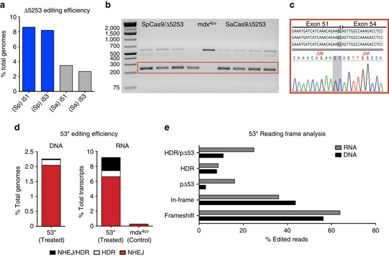 In vivo gene editing introduces a functional ORF in mdx 4cv mouse muscles. ( a ) Deep sequencing quantification on <t>PCR</t> <t>amplicons</t> generated from pooled genomic DNA extracted from muscles treated with strategy 1 (Δ5253, n =4), demonstrates successful gene editing at each of the individual target regions. Shown are the percentages of total reads that displayed genomic modifications occurring as a result of NHEJ (including insertions, deletions and substitutions), at sgRNA target sites in introns 51 and 53. ( b ) RT–PCR of target region transcripts isolated from TAs treated with strategy 1 (Δ5253, n =4) showing a predominant shorter product (red box), corresponding to approximately 87.5% of total transcripts based on image densitometry. ( c ) Subclone sequencing of the treatment-specific RT–PCR product (red box in b ) confirmed that these transcripts lacked the sequences encoded on exons 52 and 53 (the novel junction between exons 51 and 54 is highlighted in grey). ( d ) Deep sequencing quantification of gene editing efficiency on PCR amplicons generated from pooled genomic DNA (left, n =5) and RT–PCR amplicons generated from pooled transcripts (right, n =4) extracted from muscles treated with strategy 2 (53*). Shown are the percentages of total reads that displayed genomic modifications occurring as a result of NHEJ (red), HDR (white) or via a combination of both (black), at both sgRNA target sites in exon 53. ( e ) Deep sequencing reading frame analysis for strategy 2 (53*) shows the percentage of total edited transcript (gray) and genomic (black) reads resulting in frameshift indels, in-frame indels, in-frame deletions without the TAA stop codon (pΔ53), HDR reads (not including mixed NHEJ/HDR reads) and the total percentage of edited reads encoding a functional dystrophin ORF (HDR/pΔ53).