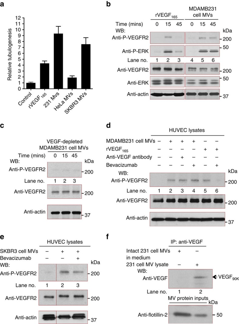 MV-associated VEGF 90K stimulates a sustained activation of VEGFRs that is insensitive to Bevacizumab. ( a ) Tubulogenesis assays were performed on HUVECs that were untreated (control; histogram 1) or treated with recombinant VEGF 165 (rVEGF; 15 ng ml −1 ) (histogram 2) or with MVs (10 μg ml −1 total protein) from MDAMB231 (histogram 3), HeLa (histogram 4) or SKBR3 (histogram 5) cells. ( b ) Lysates of serum-deprived HUVECs exposed to rVEGF 165 (5 ng ml −1 ; lanes 1–3) or MVs from MDAMB231 cells (5 μg ml −1 of MV protein; lanes 4–6) for the indicated lengths of time were immunoblotted with antibodies that recognize phosphorylated VEGFR2 (P-VEGFR2), total VEGFR2, phosphorylated ERK (P-ERK), total ERK or actin. ( c ) Lysates of serum-deprived HUVECs treated for the indicated time with MVs (5 μg ml −1 of MV protein) from MDAMB231 cells expressing VEGF siRNA were immunoblotted with antibodies that recognize phosphorylated VEGFR2, total VEGFR2 or actin. ( d ) Lysates of serum-deprived cultures of HUVECs that were untreated (lane 1), treated with MDAMB231 cell MVs (5 μg ml −1 of MV protein) without (lane 2) or with (lane 3) either 200 ng ml −1 anti-pan VEGF antibody, 0.5 μg ml −1 Bevacizumab (lane 4) or rVEGF 165 (5 ng ml −1 ) without (lane 5) or with (lane 6) 0.5 μg ml −1 Bevacizumab, for 15 min were immunoblotted with antibodies that recognize phosphorylated VEGFR2, total VEGFR2 or actin. ( e ) Lysates of serum-deprived HUVECs that were untreated (lane 1), or exposed to SKBR3 cell MVs (5 μg ml −1 total protein) treated without (lane 2) or with (lane 3) 0.5 μg ml −1 Bevacizumab for 15 min were immunoblotted with antibodies that recognize phosphorylated VEGFR2, total VEGFR2 or actin. ( f ) MDAMB231 cell MVs were evenly divided into two samples. In one sample, immunoprecipitations (IPs) using a pan VEGF antibody were performed on the intact MVs (∼25 μg of MV protein in RPMI medium; lane 1), while in the other sample, MVs were first lysed before immunoprecipitations were pe