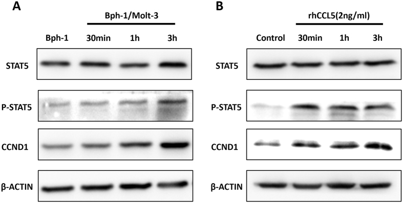Mechanism dissection of how increased CCL5 promoted the proliferation of BECs in low androgen level. ( A ) Bph-1 cells were treated with conditioned media from the co-culture group for 30 min, 1 h and 3 h compared to the mono-culture group. Western blot assay was performed using antibodies specific for total STAT5, Phospho-STAT5 and CCND1. ( B ) Bph-1 cells were treated with rhCCL5 (2 ng/ml) at the indicated times. Western blot assay was performed using antibodies specific for total STAT5, Phospho-STAT5 and CCND1. β-ACTIN was used as a loading control (full-length blots were presented in Supplementary Figure 2 ).