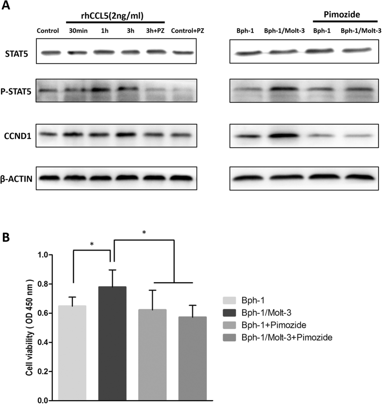 The STAT5 inhibitor Pimozide reversed CCL5/STAT5/CCND1 signaling pathway and CD8+ T cell-enhanced BECs proliferation. ( A ) Western blot results showed the up-regulation of Phospho-STAT5 and CCND1 were reversed by Pimozide (PZ). Before the treatment of rhCCL5 or conditioned media (3 h), Bph-1 cells were treated with the Pimozide (10 μ M) for 2 hours. β-ACTIN was used as a loading control (full-length blots were presented in Supplementary Figure 3 ). ( B ) CCK8 assay showed that the addition of Pimozide (10 μ M) reversed the Molt-3 cells-enhanced Bph-1 cells proliferation at days 2. *P