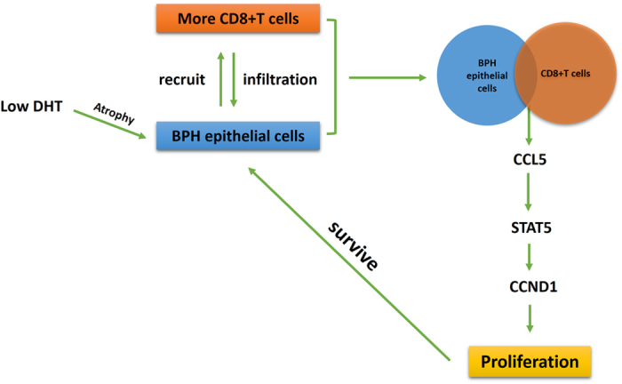 Low intra-prostatic DHT promotes CD8+ T cells infiltration in BPH prostate tissue. Then, increased secretion of CCL5 from CD8+ T cells/BECs interaction could promote the proliferation of BPH epithelial cells in the condition of low androgen via activation of the STAT5/CCND1 signaling pathway.