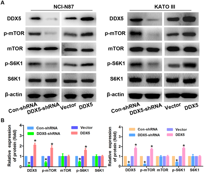 DDX5 regulates the mTOR signaling in gastric cancer cells. ( A ) Western blot analysis of the expression of DDX5, p-mTOR(S2448), mTOR, p-S6K1(T389) and S6K1 in the indicated gastric cancer cells in response to DDX5 up-regulation or down-regulation. β-actin was used as loading control. ( B ) Relative quantification of the indicated proteins by densitometric analysis of the bands. All the experiments were performed in triplicate. *p