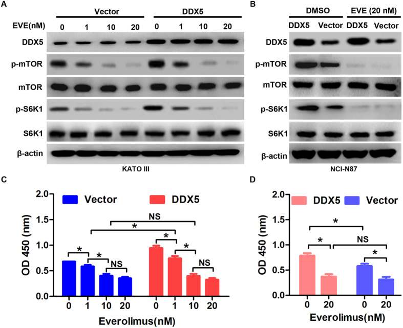 Suppression of mTOR signaling abrogates DDX5-induced cell proliferation. ( A,B ) Western blot analysis of DDX5, p-mTOR(S2448), mTOR, p-S6K1(T389) and S6K1 in DDX5 or Vector transfected KATO III and NCI-N87 cells incubated with the indicated concentration of everolimus (EVE) or DMSO for 48 hr. β-actin was used as loading control. ( C,D ) CCK-8 analysis of gastric cancer cell proliferation in the presence or absence of everolimus for 48 hr (*p