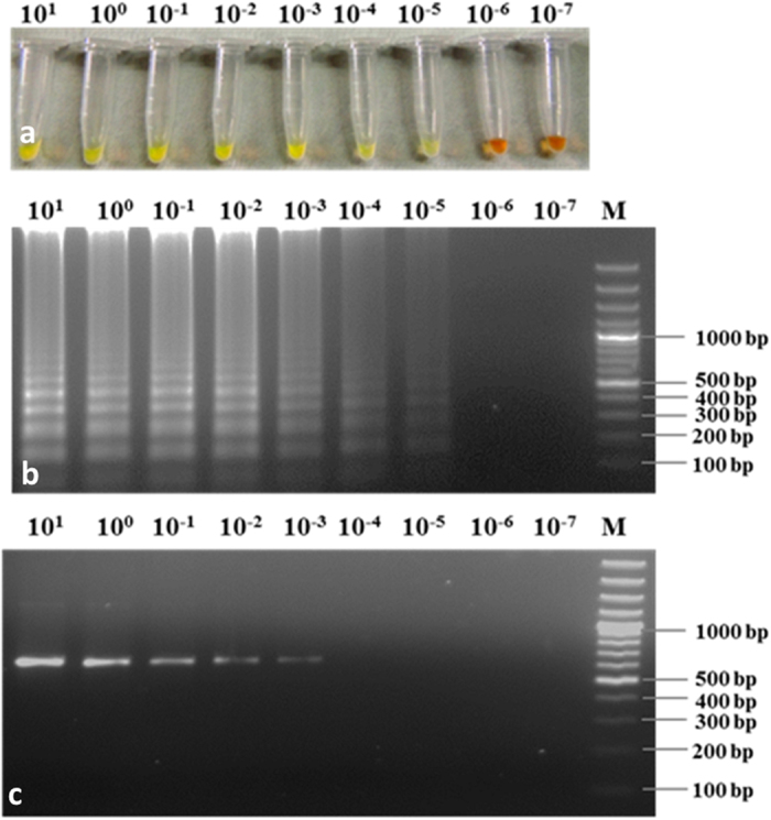 Sensitivity of LAMP assay vs. conventional PCR for detection of Rhizoctonia bataticola using similar concentration of DNA template. ( a ) Visual assessment of LAMP assay using SYBR Green I. ( b ) LAMP assay on the basis of 2% agarose gel electrophoresis. ( c ) Result of conventional PCR using ITS1 and ITS4 primers. M GeneRuler TM 100 bp Plus DNA Ladder; lane 10 1 –10 −7 indicated the DNA concentration in LAMP reaction starting from 10 ng (10 1 ng) to subsequent 10 fold diluted DNA up to 0.1 fg (10 −7 ng), respectively.