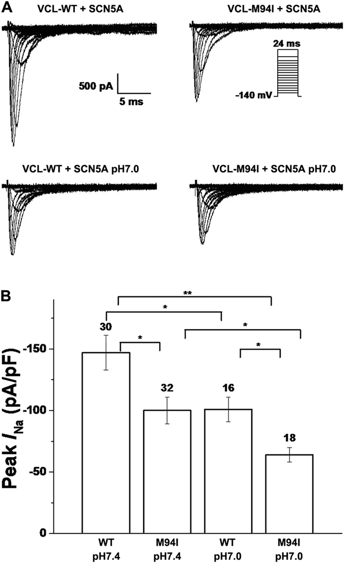 Electrophysiological properties of cardiac sodium channel in HEK293 cells co-expressing SCN5A and either WT or mutant VCL. ( A ) Representative whole-cell current traces showing peak I Na under both normal (pH 7.4) and moderate acidosis (pH 7.0) condition in HEK293 cells expressing SCN5A and either WT or mutant VCL. ( B ) Summary data of peak I Na densities from every group. The number of tested cells is indicated above the bar. * p