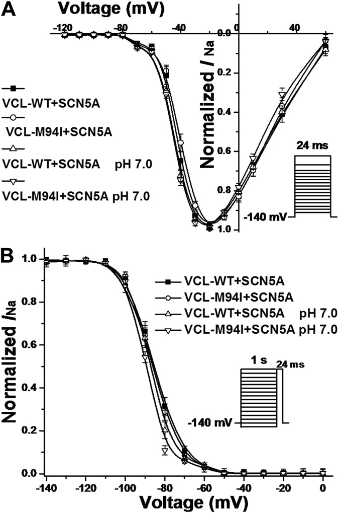 Voltage–dependent gating for SCN5A co-expressed with VCL in HEK293 cells. ( A ) Under normal pH condition, M94I caused a statistically significant depolarizing shift in activation of cardiac sodium channel by 2.7 mV compared to WT. Vrev = 84.8 mV. ( B ) Under pH 7.0, M94I showed a significant repolarizing shift by 4.1 mV in inactivation of cardiac sodium channel compared with WT at pH 7.4.