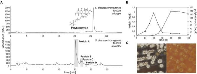 Production of polyketomycin and foxicin in Streptomyces diastatochromogenes Tü6028. (A) HPLC chromatogram of S. diastatochromogenes Tü6028 wild type at λ430 nm with polyketomycin structure (top) and of Δ pokOIV mutant at λ320 nm (below); (B) Production of foxicin A (▴) and polyketomycin (O) in S. diastatochromogenes Tü6028 wild type; (C) Morphology of S. diastatochromogenes Tü6028 wild type (left) and Δ pokOIV mutant (right). On the plate, the Δ pokOIV mutant appears yellow and deficient in producing spores and melanins (dark color).