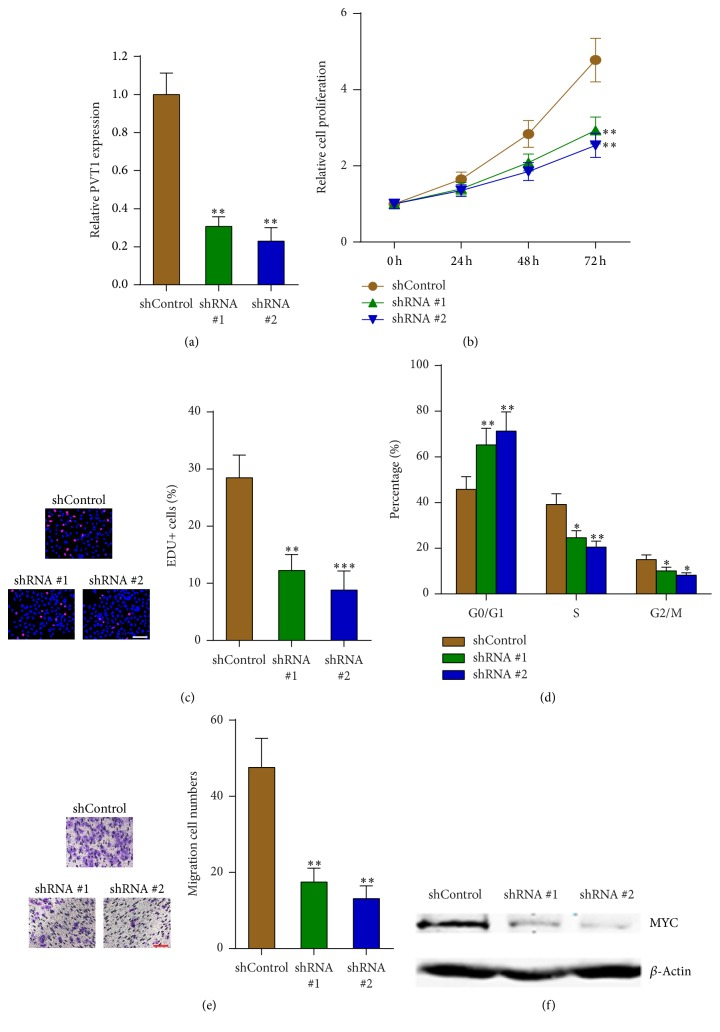 Depletion of PVT1 inhibits melanoma cells proliferation, cell cycle progression, and migration. (a) PVT1 expression levels in PVT1 stably depleted and control A375 cells were measured by qPCR. (b) The effects of PVT1 depletion on A375 cells proliferation were measured by CCK-8 assays. (c) The effects of PVT1 depletion on A375 cells proliferation were measured by EdU incorporation assays. Scale bars, 100 μ m. (d) The effects of PVT1 depletion on A375 cell cycle distribution were measured by flow cytometry. (e) The effects of PVT1 depletion on A375 cells migration were measured by transwell assays. Scale bars, 100 μ m. (f) Western blot analysis of MYC protein in PVT1 stably depleted and control A375 cells. Data are presented as mean ± SD. n = 3, ∗ P