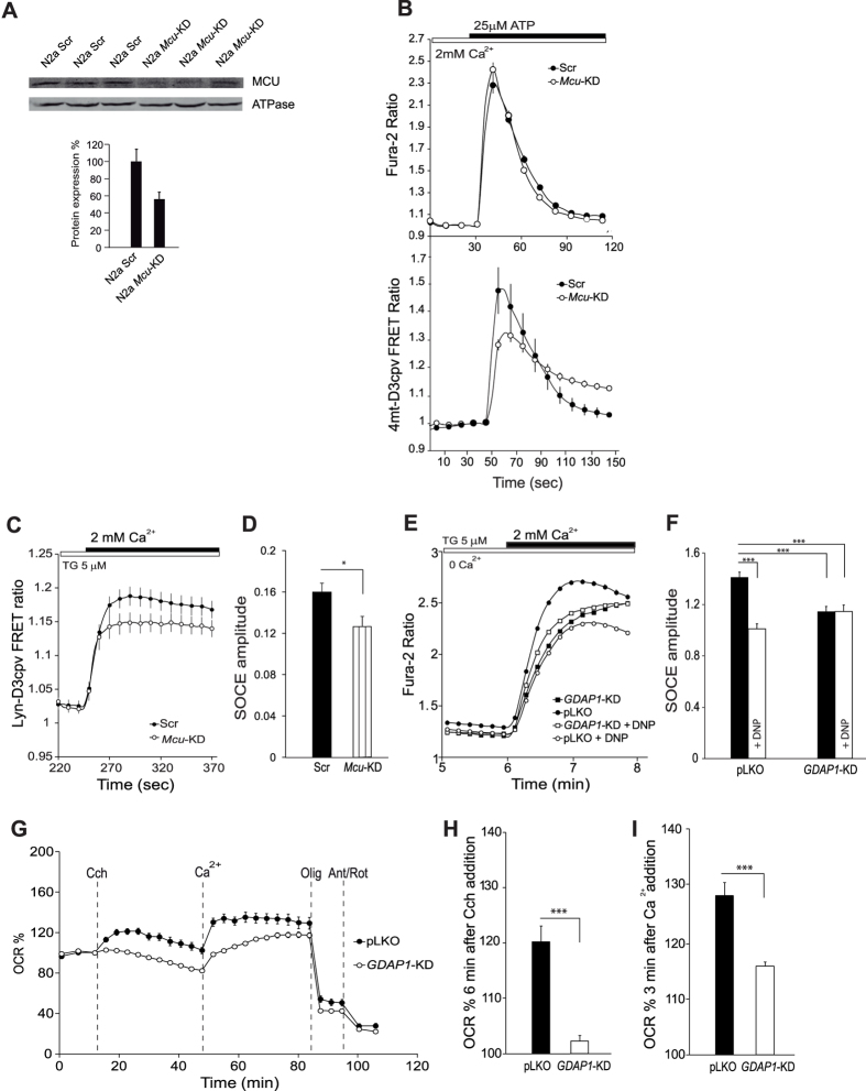 Mitochondrial Ca 2+ uptake during SOCE and SOCE-stimulation of respiration is reduced in GDAP1-KD cells. ( A ) Analysis of MCU levels by Western blot. Protein extracts were obtained 72 hours after transfection of N2a cells with either shScr or shMcu. Primary antibodies used were α-MCU and α-βATPase as a control. MCU protein levels drop to 56, 2 ± 8, 3% of control values. ( B ) Fura-2 [Ca 2+ ] i signals and 4mt-D3cpv mitochondrial calcium signals in N2a cells transfected with shScr or shMcu upon addition of 25 μM ATP where indicated. ( C ) Lyn-D3cpv subplasmalemmal Ca 2+ signals were measured in N2a cells transfected with shScr or shMcu upon addition of 2 mM Ca 2+ in Ca 2+ -free medium with 5 μM Thapsigargin (Tg). Data were obtained from 3 independent experiments (n = 9–16 cells). ( D) Quantification of SOCE amplitude as ΔRatio (F510/F440) ± SEM for each condition. ( E) SOCE response in control pLKO and GDAP1 -KD neuroblastoma cells, in presence or absence of DNP (0.25 mM). Fura-2 [Ca 2+ ] i signals were measured upon addition of 5 μM Tg in Ca 2+ -free medium and 2 mM CaCl 2 where indicated. DNP was added 2 min before Ca 2+ addition. Traces were obtained averaging at least 250 cells from at least 4 independent experiments. ( F) Quantification of SOCE amplitude as ΔRatio (F340/F380) ± SEM for each cell line and condition. ( G) Oxygen consumption rate expressed as percentage of basal OCR in control pLKO and GDAP1 -KD cells, showing the sequential injection of carbachol (Cch, 50 μM), Ca 2+ (2 mM) and metabolic inhibitors. ( H , I) Quantification of % OCR 6 min after carbachol addition and 3 min after calcium addition respectively. Data were obtained from at least 8 independent experiments (n = 27–50). All data are normalized to the initial values and are expressed as mean ± SEM. Means were compared using one-way or two-way ANOVA, *p