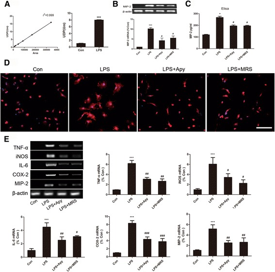 UDP/P2Y6R signaling involved in the activation of microglia cells and the production of inflammatory cytokines. a The standard curve and the UDP concentration in the LPS-treated and control supernatants of BV-2 cells based on HPLC. b mRNA levels of MIP-2 in LPS, LPS+Apy- and LPS+MRS-treated BV-2 cells. c ELISA of MIP-2 secretion. d Morphological changes in LPS-stimulated and Apy/MRS pretreated primary microglia cells. Representative immunostained images for primary microglia cells (Iba-1, red ; DAPI, blue ). Scale bar = 100 μm. e Representative RT-PCR showing the expression levels of inflammatory cytokines (TNF-α, iNOS, IL-6, COX-2, and MIP-2) from LPS-stimulated primary microglia cells pretreated with Apy/MRS. The band intensity was quantified using studio lite imager and is presented relative to the level of β-actin. Data are shown as the mean ± SD of three independent experiments. * p