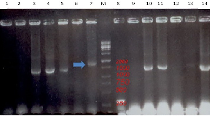 PCR analysis of the pFastBacNA-HSP70 plasmid in Top 10 cells was carried out by using specific pFastBac HTA primers (the Screening test). The pFastBacNA-HSP70 plasmid exhibited a nearly 1800-bp fragment. Lane M: a 100 bp DNA marker, lane 7: the amplicon of pFastBacNAHSP70 (active colony). Lane 8: an empty pFastBac-HTA vector indicating a 303-bp fragment, lanes 3,4,5,10,11,13 and 14: Top 10 cells colonies containing only the pFastBacNA plasmid, but no accepted HSP70 gene to show the 1500-bp fragment, lanes 1,2,6,9 and 12: empty Top10 cells as a negative control without the fragment