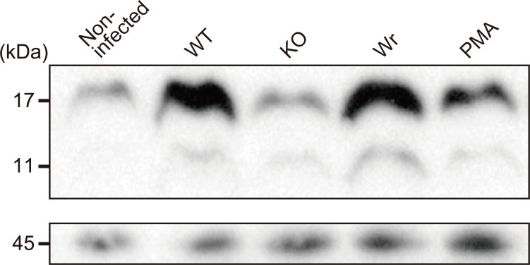 Detection of histone citrullination in S . sanguinis -infected neutrophils. Neutrophils were infected with the WT, KO, or Wr strain at an MOI of 10. Following incubation for 1 h at 37°C, cells were suspended in Laemmli gel loading buffer. Samples were immunoblotted with a rabbit anti-histone H3 antibody and HRP-conjugated anti-rabbit IgG antibody (upper panel). As a loading control, <t>β-actin</t> was detected using an anti-β-actin antibody and HRP-conjugated anti-rabbit IgG antibody (lower panel).