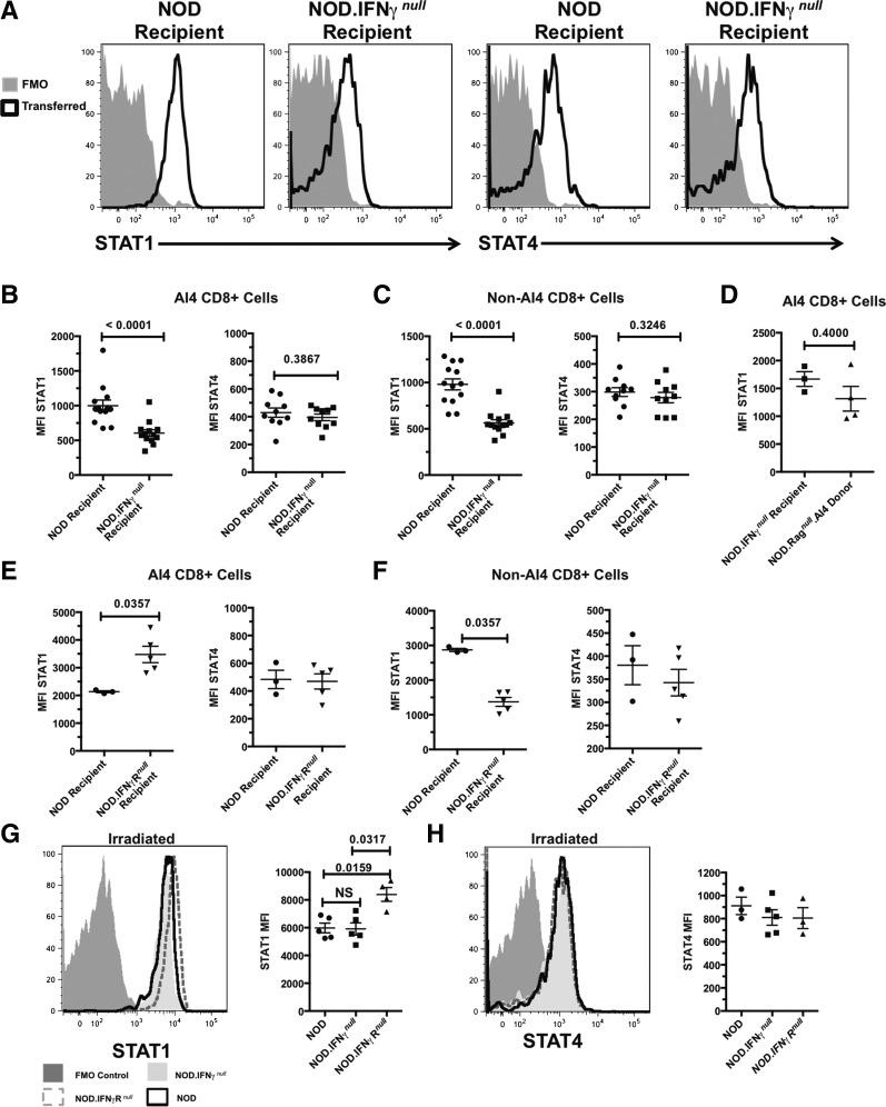 Higher STAT1 but not STAT4 expression by transferred AI4 T cells is associated with the lesser ability of such effectors to induce diabetes in NOD and NOD. IFN-γR null  than NOD. IFN-γ null  recipients.  A – C : Otherwise unmanipulated NOD or NOD. IFN-γ null  recipients were injected with 1 × 10 6  AI4 T cells and analyzed for total STAT1 or STAT4 levels 2–7 days after transfer.  A : Representative pattern (from day 4) of transferred CD8 +  tetramer +  AI4 T cells from the indicated recipients showing STAT1 (left) or STAT4 (right) compared with fluorescence minus one (FMO) control stains.  B : Quantification of STAT1 (left) or STAT4 (right) staining of splenic AI4 CD8 +  T cells after transfer into the indicated recipients.  C : Endogenous CD8 +  tetramer −  T cells from the indicated recipients were analyzed for mean fluorescence intensity (MFI) of STAT1 (left) or STAT4 (right) staining after transfer of AI4 CD8 +  T cells.  B  and  C  display combined data for days 2–7 posttransfer of AI4 T cells.  D : Comparison of STAT1 expression by tetramer +  AI4 donor T cells before and 2 days after transfer into otherwise unmanipulated NOD. IFN-γ null  recipients.  E : Otherwise unmanipulated NOD or NOD. IFN-γR null  recipients were injected with 1 × 10 6  AI4 T cells and analyzed for STAT1 or STAT4 levels 2 days after transfer. Quantification of STAT1 (left) or STAT4 (right) staining of splenic AI4 CD8 +  T cells 2 days after transfer into the indicated recipient.  F : Endogenous CD8 +  tetramer −  T cells from the indicated recipients were analyzed for MFI of STAT1 (left) or STAT4 (right) staining 2 days after transfer of AI4 CD8 +  T cells.  D–F  display data from a single experiment.  G  and  H : NOD, NOD. IFN-γ null , or NOD. IFN-γR null  mice were irradiated (600 cGy) and injected with 1 × 10 6  AI4 T cells. Two days posttransfer, AI4 T cells were analyzed for STAT1 or STAT4 levels. Left panels: Histograms showing STAT1 ( G ) or STAT4 ( H ) expression of AI4 T cells from the indicated recipients compared with an FMO control. Right panels: Quantification of MFI of STAT1 ( G ) or STAT4 ( H ) staining from one of two experiments showing  n  ≥ 3 per group.  P  values calculated using Mann–Whitney analysis.