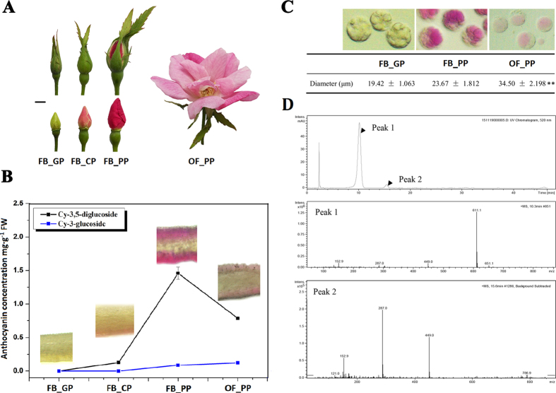 The definition and characterisation of RNA-seq experimental materials in Rosa chinensis 'Old Blush'. ( A ) The four stages of petal development: FB_GP, green petals in the flower bud; FB_CP, colour-changing petals in the flower bud; FB_PP, pink petals in the flower bud; OF_PP, pink petals of the open flower. Plant materials grown under a 12 h light (6:00 am–18: 00 pm)/12 h dark (18:00 pm–6:00 am) photoperiod and a 25 °C day/18 °C night temperature regime in the greenhouse. Petals have been collected at 12:00 am. Scale bar = 5 mm. ( B ) The anthocyanin concentration in the petals of the four developmental stages. <t>Cy-3,5-diglucoside</t> (black line) is the main anthocyanin in petals of 'Old Blush'. Cy-3-glucoside (blue line) is the other detectable anthocyanin. The inset images display a longitudinal cross-section of the petals at each stage of development. The error bars represent standard errors. ( C ) Petal protoplasts at stages FB_GP, FB_PP, and OF_PP and their respective mean protoplast diameter. Values represent the means and SD of three biological replicates. Asterisks denote significant differences compared with the diameter of stage FB_GP at P