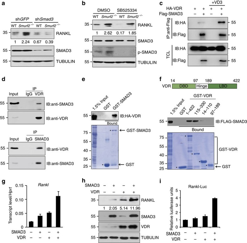 SMAD3 and VDR function together to induce RANKL expression. ( a ) Expression of RANKL, SMAD3 and TUBULIN in WT and Smurf2 −/− neonatal calvarial osteoblasts infected with shRNA lentivirus targeting Smad3 or Egfp shRNA. ( b ) Expression of RANKL, SMAD3, p-SMAD3 and TUBULIN in WT and Smurf2 −/− neonatal calvarial osteoblasts with or without 10 μM SB525334. ( c ) Co-immunoprecipitation of HA-VDR and Flag SMAD3 in 293T cells with dimethylsulphoxide (DMSO) or 10 nM 1,25D treatment for 24 h. ( d ) Co-immunoprecipitation of endogenous VDR and SMAD3 in calvarial osteoblasts. ( e , f ) 293T cells were transfected with the HA-VDR or Flag SMAD3 construct, and 48 h post transfection, total cell lysates (TCLs) were recovered to perform GST pull-down analysis with the indicated GST-fusion proteins. ( g , h ) mRNA and protein level of RANKL in C3H10 T1/2 cells infected with SMAD3- and VDR-expressing lentivirus. ( i ) C3H10 T1/2 cells were transiently co-transfected with a RANKL 2-kb promoter luciferase reporter and pRL-Renilla plasmids together with empty vector or Smad3 or VDR. The cells were collected for dual-luciferase reporter assay after transfection for 48 h.