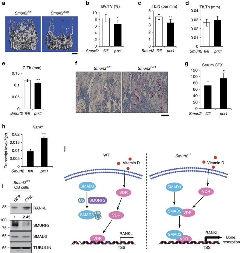 Deletion of Smurf2 in mesenchymal cells leads to increased bone resorption. ( a – e ) μ-QCT analysis of proximal femur from 5-week-old Smurf2 fl/fl and Smurf2 prx1 male mice for bone volume per tissue volume (BV/TV), trabecular number (Tb.N), trabecular thickness (Tb.Th) and cortical thickness (C.Th). Scale bar, 500 μm. ( f ) Histological sections of tibias from 5-week-old Smurf2 fl/fl and Smurf2 prx1 male mice stained for tartrate-resistant acid phosphatase (TRAP). Scale bar, 100 μm. ( g ) Serum CTX levels in 5-week-old Smurf2 fl/fl and Smurf2 prx1 male mice. Value represent means±s.d. ( n =6 for each genotype, ** P