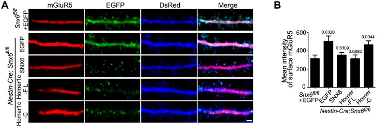 Ablation of SNX6 causes an increase in surface expression of mGluR5 in hippocampal neurons, which is rescued by SNX6 or Homer1c. ( A ) DIV13 neurons were transfected with constructs expressing DsRed and EGFP, EGFP-SNX6, mEmerald-Homer1c-FL or EGFP-Homer1c-C, fixed on DIV18 and immunostained with antibodies to surface-expressed mGluR5. ( B ) Quantification of surface mGluR5 fluorescence intensity per μm 2 (mean ± SEM, n = 30, N = 3, the exact p values are indicated in the bar graph). Bar: 2 μm. DOI: http://dx.doi.org/10.7554/eLife.20991.034