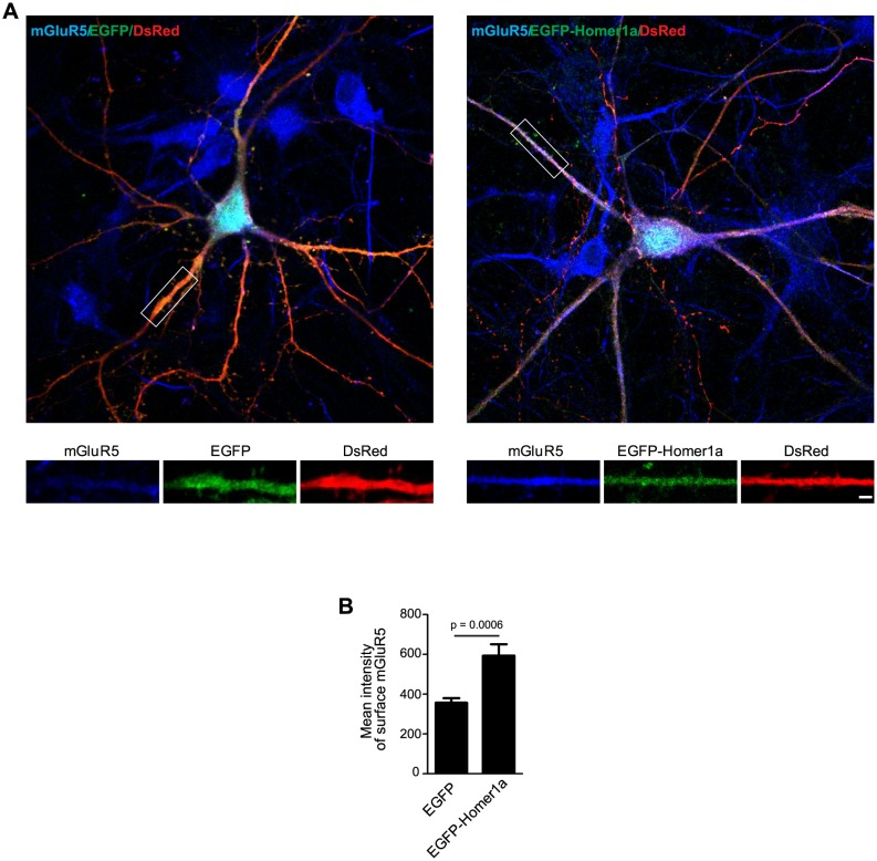 Homer1a overexpression increases surface mGluR5 expression. This experiment serves as a control for Figure 9—figure supplement 2 and is in agreement with previous reports ( Ango et al., 2002 ). ( A ) Hippocampal neurons were co-transfected with pLL3.7.1 and EGFP-Homer1a or EGFP construct on DIV13, and fixed on DIV18. Surface mGluR5 expressions were immunostained with antibodies to mGluR5. ( B ) Quantification of surface mGluR5 signal in ( A ) (mean ± SEM, n = 30 cells, N = 3). Bar: 2 μm. DOI: http://dx.doi.org/10.7554/eLife.20991.035