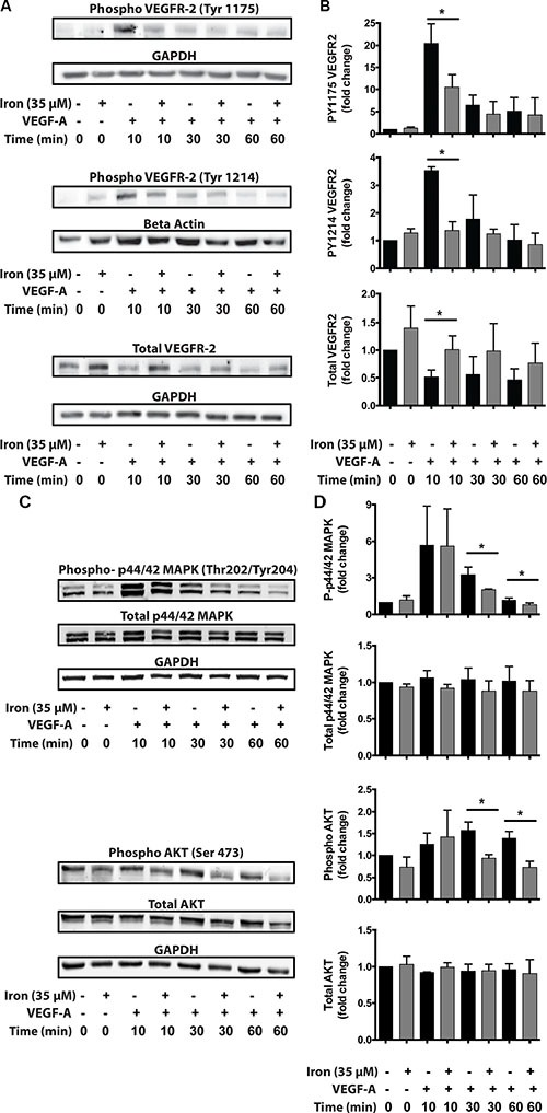 Cell-permeable iron inhibits VEGFR-2 receptor phosphorylation and downstream signaling HUVEC-I cells were stimulated with VEGF-A (100 ng/ml) for 10 min to 60 min in the presence of 35 μM iron. ( A ) Cell lysates were probed for phosphorylated tyrosine residues (pTyr-1175 and pTyr-1214) by Western blots using site-specific antibodies. Representative blot from two-three independent experiments is shown. ( B ) Densitometry analyses were used to determine relative levels of phosphorylated VEGFR-2 and total VEGFR-2. GAPDH levels were used for normalization for pTyr-1175 and total receptor levels. Beta-Actin levels were used for normalizing pTyr-1214 VEGFR-2 levels. Data represent mean ± SD from two-three independent experiments. ( C ) Representative Western blot showing phosphorylated p44/p42 MAPK and phosphorylated AKT. ( D ) Densitometric analysis of relative levels of phosphorylated and total p44/p42 MAPK and p-AKT. GAPDH levels were used for normalization. Data represent mean ± SD from two-three independent experiments. * P