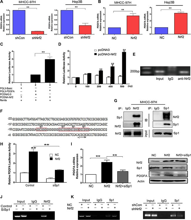 Nrf2 enhances the mRNA transcription of PDGFA by binding to PDGFA promoter via Sp1 ( A ) Ablation of Nrf2 downregulated PDGFA mRNA expression. MHCC-97H and Hep3B cells were infected with indicated lentivirus and the mRNA levels of PDGFA in indicated group were measured by qRT-PCR. ( B ) Ectopic expression of Nrf2 increased PDGFA mRNA expression. The mRNA levels of PDGFA in indicated group were measured by qRT-PCR. Means ± SD from three independent experiments are presented as relative ratio to the control whose value was taken as 1.0. ( C ) Nrf2 activated PDGFA promoter. MHCC-97H cells were co-transfected with indicated plasmids for 48 h. Means ± SD of normalized luciferase activity from three independent experiments are presented. ( D ) Nrf2 dose-dependently activated PDGFA promoter. HEK-293T cells cotransfected with PGL3-PDGFA, pRL-SV40, and various amounts (0, 100, 200, 400, 800 ng/well) of pcDNA-Nrf2 or pcDNA3.0 vectors. Means ± SD of normalized luciferase activity from three independent experiments are presented. ( E ) Nrf2 could bind to PDGFA promoter. ChIP assays were performed by immunoprecipitation chromatin fragments from MHCC-97H cells using anti-Nrf2 mAb or IgG control. 5% cell lysate was used as input. ( F ) Characterization of the region −223/+20 in PDGFA promoter revealed four binding sites for Sp1 (marked in red box). ( G ) Nrf2 interacts with Sp1 in the nucleus. Nucleoproteins were then extracted and subjected to Co-IP assay analysis. In this way we further revealed the interactions between Nrf2 and Sp1. 5% cell lysate was used as input. IB, immunoblot. IP, immunoprecipitation. ( H ) PDGFA luciferase activities were detected under the NC and Nrf2 overexpression group, respectively. Cells were transfected with no siRNAs (control), or Sp1 siRNA (siSp1). Means ± s.d. of normalized luciferase activity from three independent experiments are presented. ( I ) The upregulation of PDGFA by Nrf2 was dependent on Sp1. Cells that were infected with the indicate