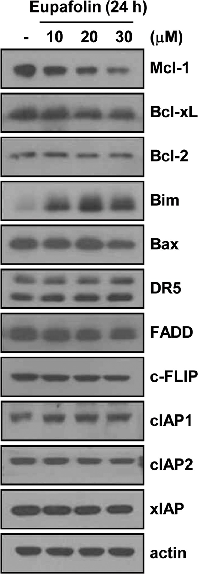 Effects of eupafolin on expression levels of apoptosis-related proteins Caki cells were treated with the indicated concentrations of eupafolin for 24 h. The protein levels of Mcl-1, Bcl-xL, Bcl-2, Bim, Bax, DR5, FADD, c-FLIP, cIAP1, cIAP2, XIAP, and actin were determined by Western blotting. The level of actin was used as a loading control.