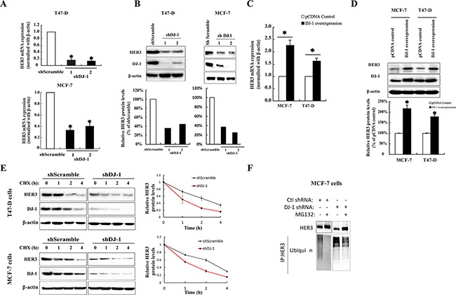 The effect of DJ-1 on HER3 mRNA, protein expression, and protein stability in breast cancer cells A. shDJ-1 knockdown in T47-D and MCF-7 cells decreased HER3 mRNA levels. B. Stable shDJ-1 knockdown in T47-D and MCF-7 cell lines decreased HER3 protein levels. The bar graphs below the WB image indicate the quantification of WB by ImageJ. C. Increased HER3 mRNA levels in T47-D and MCF-7 cell lines with DJ-1 overexpression as determined by qPCR. D. DJ-1 overexpression in T47-D and MCF-7 cell lines increased HER3 protein levels by WB and bar graph below the WB image indicates the quantification of WB by imageJ. E. DJ-1 shRNA cancer cells had decreased half-life of HER3 protein. Cells were cultured in the presence or absence of cycloheximide (CHX), and cell lysates were collected at indicated times. WB images show the levels of HER3 and DJ-1 and quantitation of the signals by ImageJ is shown in the graphs on the right side. F. Increased ubiquitination of HER3 in DJ-1 shRNA cancer cells in the presence or absence of proteasome inhibitor MG132. Cancer cell lysates were subjected to IP using anti-HER3 antibody, and ubiquitinated HER3 was detected with an anti-ubiquitin antibody (P4D1). All experiments were repeated three times, n=3. * indicates p