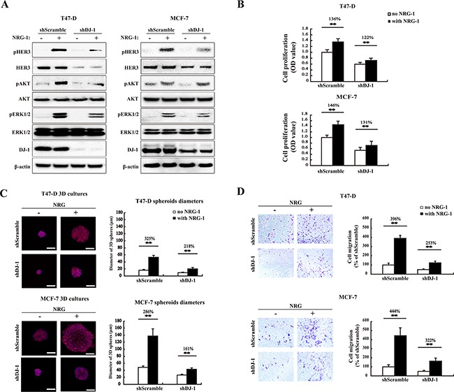DJ-1 knockdown decreases HER3-mediated signaling, cell proliferation, 3D spheroid growth and migration A. WB detection of total HER3, pHER3, AKT, pAKT, ERK1/2, and pERK1/2 in DJ-1 knockdown (shDJ-1) T47-D and MCF-7 cells. B. Decreased cell proliferation and stimulation by NRG-1 in shDJ-1 knockdown T47-D or MCF-7 cells. The number on the top of the bars indicates percentage of cell proliferation with NRG-1 by normalizing with the no NRG-1 control as 100%. C. Decreased tumor growth in 3D culture in shDJ-1 MCF-7 and shDJ-1 T47-D cells. Scale bars, 100 μm. The sizes of MCF-7 and T47-D 3D spheres were quantified by measuring the diameter of 100 spheres from 10 random fields, n=100. D. Reduced cell migration in shDJ-1 T47-D and sh DJ-1 MCF-7 cells. Migrated cells from five random fields were counted. Experiments were repeated at least three times (n=3), ** indicates P