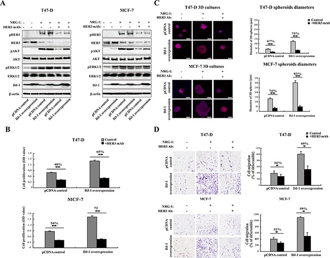 DJ-1 overexpressing cancer cells are more sensitive to anti-HER3 antibody treatment A. Inhibition of HER3 signaling by anti-HER3 antibody (HER3mAb) in DJ-1 overexpressing T47-D and MCF-7 cells. B. DJ-1 overexpressing T47-D and MCF-7 cells showed increased sensitivity to inhibition of cell proliferation by HER3mAb treatment. The numbers on the top of the bar graph indicate the % of inhibition by HER3mAb treatment, n=4, **P