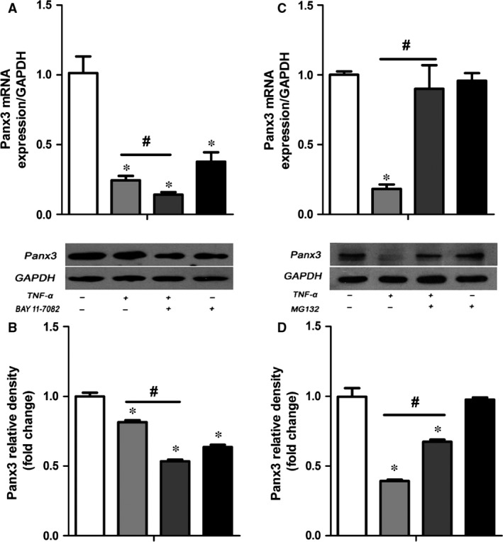 MG 132 not BAY 11‐7082 rescued the TNF ‐α‐induced down‐regulation of Panx3. Cells were pre‐treated with 2 μM BAY 11‐7082, 1 μM MG 132 or DMSO for 30 min. before TNF ‐α treatment. qRT ‐ PCR ( A, C ) and Western blot analysis ( B, D ) were then performed to determine the Panx3 expression. * P