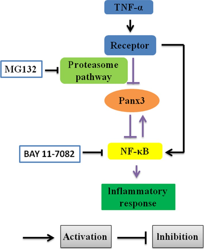 Schematic illustration of the role of Panx3 in dental pulp inflammation. TNF ‐α could down‐regulate the expression of Panx3 via activating proteasome pathway, meanwhile the NF ‐κB might balance the effect. In addition, Panx3 could suppress NF ‐κB signalling pathway, leading to inhibition of TNF ‐α‐induced inflammatory response. The black lines indicate that the interactions have been clearly established in previous studies. The purple lines indicate the connection established in this study. MG 132, a proteasome inhibitor; BAY 11‐7082, a NF ‐κB inhibitor.