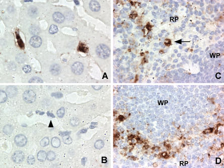 MNV-1-Specific Staining In Vivo Occurs in Cells of the MΦ Lineage Immunohistochemistry was performed on liver (A and B) and spleen (C and D) sections from STAT1 −/− mice 2 d after oral infection. MNV-1-specific staining was seen in Kupffer cells of infected livers when probed with MNV-1 immune (A) but not preimmune (B) serum. A selected Kupffer cell lining the sinusoid is indicated by an arrowhead. MNV-1-specific staining consistent with MΦ was seen in red pulp (C) and marginal zone (D) in the spleen. The arrow indicates a cell with MΦ morphology. No staining was observed in tissues from mice infected for 1 d, in infected tissues incubated with preimmune serum, or in mock-infected tissues incubated with immune serum. RP, red pulp; WP, white pulp.