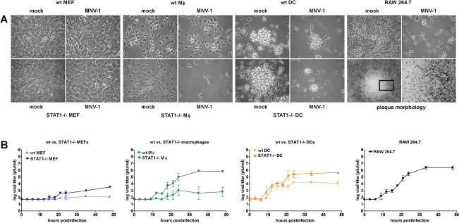 MNV-1 from Brain Homogenate Replicates in Cells of the DC and MΦ Lineage In Vitro BMDCs and BMMΦ, as well as MEFs from wt or STAT1 −/− mice, and RAW 264.7 cells were infected with a MOI of 0.05. (A) MNV-1 causes CPE in permissive cells. MNV-1- or mock-infected cells were observed by light microscopy 2 d postinfection. The boxed area is magnified further to show the border of the plaque. (B) Infected cell lysates were analyzed in two to four independent experiments by plaque assay at various timepoints postinfection to calculate standard deviations. For wt BMMΦ, MNV-1 growth was detected in two out of four experiments.