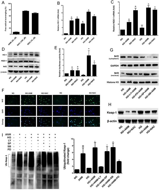Antcin M activates Nrf2-dependent anti-oxidant defense in HNDFs A. To determine the free-radical scavenging effect of ANM, cell-free DPPH assay was performed. NAC and RES were used as positive controls. B. , C. To quantify the mRNA expression levels of HO-1 and NQO-1, HNDFs were incubated with ANM (10 μM) or NAC (100 μM) in the presence or absence of HG (30 mM) for 12 h. Total RNA was extracted and subjected to Q-PCR analysis. Relative mRNA levels were normalized with β-actin mRNA. D. To determine the protein expression levels of HO-1, NQO-1 and Nrf2, HNDFs were incubated with ANM (10 μM) or NAC (100 μM) for 24 h. Total cell lysates were prepared and subjected to western blot analysis to monitor the expression levels of HO-1, NQO-1 and Nrf2. E. To determine the Nrf2 transcriptional activity, HNDFs were transiently transfected with ARE promoter construct using lipofectamine and incubated with ANM (10 μM) or NAC (100 μM) in the presence or absence of HG (30 mM) for 6 h. Cell lysates were mixed with luciferase reagents and quantified using an illuminometer. Relative ARE promoter activity was calculated by dividing the relative luciferace unit (RLU) of treated cells by RLU of untreated cells (NG). F. To determine the nuclear localization of Nrf2, HNDFs were incubated with ANM (10 μM) or NAC (100 μM) in the presence or absence or HG (30 mM) for 2 h. The protein expression and localization of Nrf2 was measured by immunofluorescence using Nrf2 specific primary antibody and fluorescein isothiocyanate-conjugated secondary antibody (green). The subcellular and nuclear localization of Nrf2 was photographed using a fluoroscence microscope. DAPI (1 μM) was used to stain the nucleus. G. HNDFs were pre-incubated with AKT, <t>ERK1/2,</t> JNK/SAPK and p38 MAPK inhbitors LY294002 (LY, 30 μM), PD98059 (PD, 30 μM), SP600125 (SP, 30 μM) and SB203580 (SB, 30 μM), respectively for 2 h and then incubated with ANM (10 μM) in the presence of HG (30 mM) 2 h. Cytoplasmic and nuclear fractions 