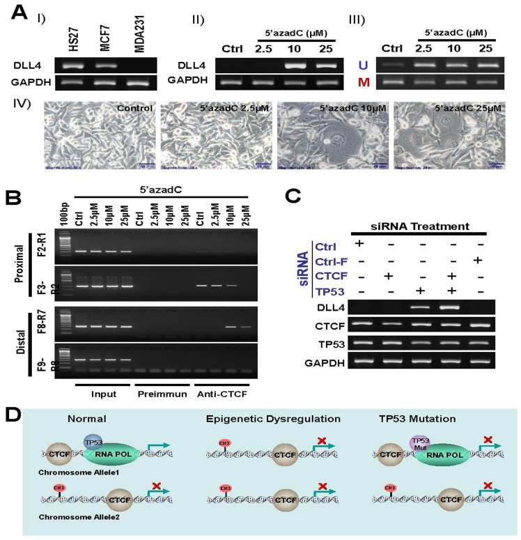 Role of DNA methylation, TP53 and CTCF in regulation of DLL4 gene expression A. silenced DLL4 by DNA methylation in MDA231 cell line is reactivated by inhibitor of DNA methylation 5′-aza-dC. I) DLL 4 expression level in MDA231 cell line is compared with HS27 and MCF7 by RT-PCR assay. II) Reactivation of silenced DLL4 gene in MDA231 by the DNA methylation inhibitor, 5-aza-dC. III) Methylation status of the DLL4 promoter in MDA231 cell lines treated with 5-aza-dC and detected by MS-PCR. IV) Phase-contrast photomicrographs showing morphologic changes in MDA231 cells treated with 2, 5μM, 10μM and 25μM of 5-aza-dC for 3 days, compared with untreated control cells maintained for 3 days. B. The effect of DNA methylation on interaction between CTCF and DLL4 promoter by ChIP assay C. Reactivation of DLL4 gene expression in LFS cell line, 3335, by CTCF and TP53 siRNA treatment. D. A schematic representation of presumable mechanism of regulation of DLL4 gene expression.