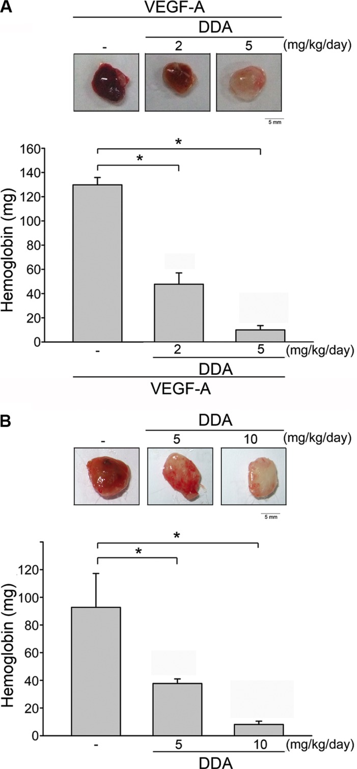 DDA inhibited VEGF-A- or tumor-induced neovascularization ( A ) Matrigel containing VEGF-A and heparin was subcutaneously injected into C57BL/6 mice. Vehicle and DDA (2 or 5 mg/kg/day) was administered intraperitoneally. Hemoglobin levels in the Matrigel plug were quantified 7 days after implantation and shown in the lower panel of the chart. Each column represents the mean ± S.E.M. of six independent experiments. * p