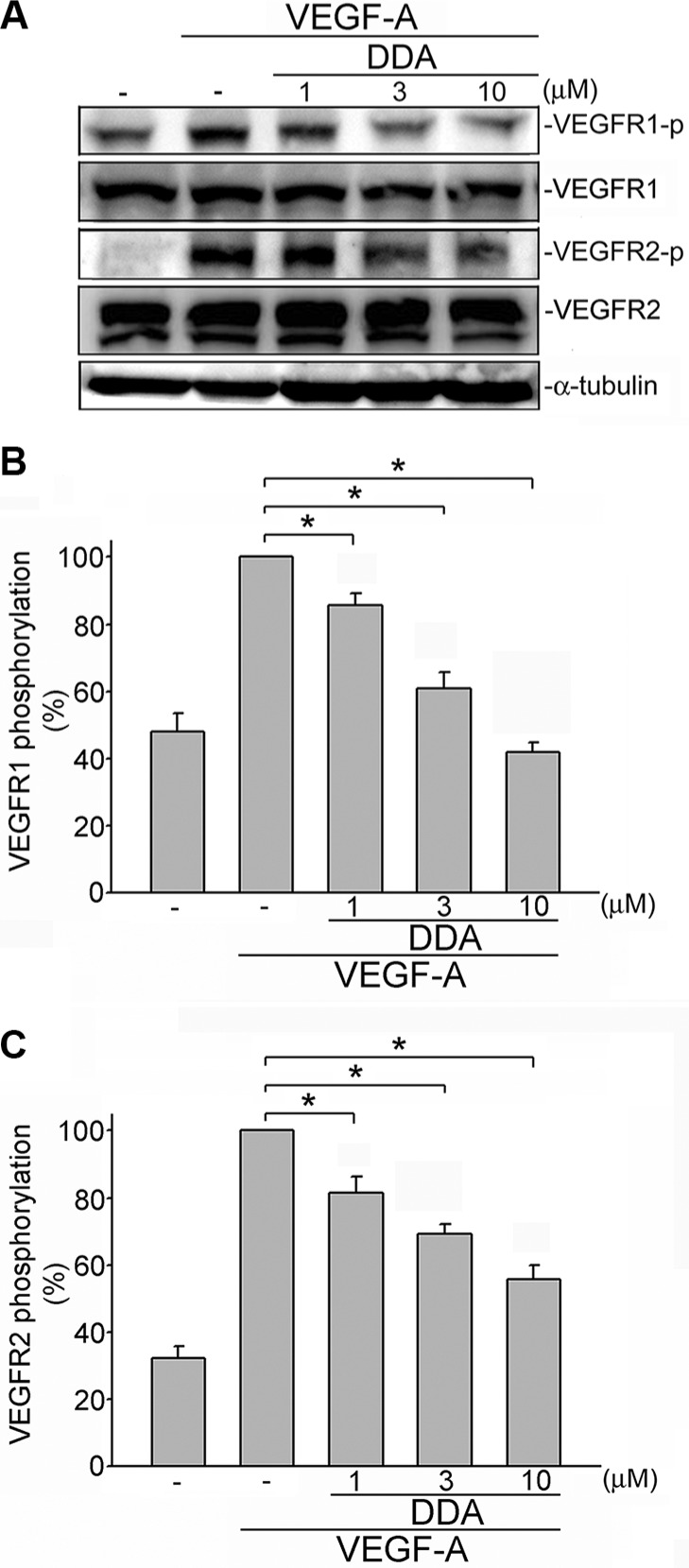 DDA inhibited VEGF-A-induced phosphorylation of VEGFR1 and VEGFR2 in HUVECs ( A ) Cells were pretreated with indicated concentrations of DDA for 30 min, followed by the addition of VEGF-A (25 ng/ml) for another 5 min. Phosphorylation status of VEGFR1 and VEGFR2 were then determined by immunoblotting. The compiled results of VEGFR1 ( B ) and VEGFR2 ( C ) are shown. Each column represents the mean ± S.E.M. of at least five independent experiments. * p