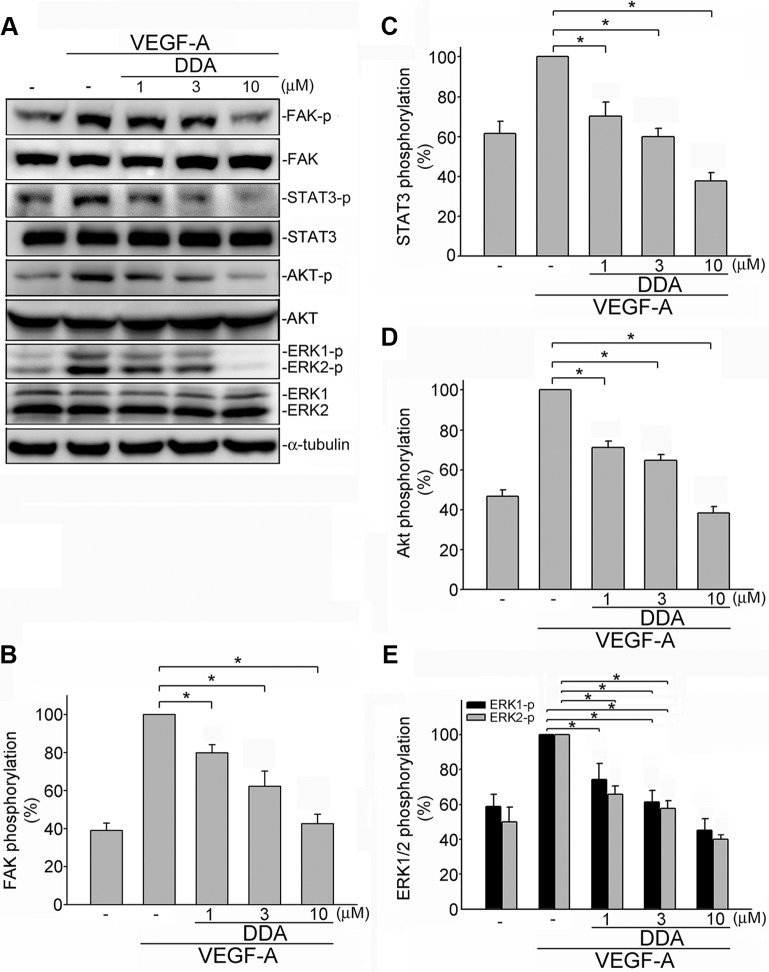 DDA inhibited VEGFR2 signaling pathway in HUVECs ( A ) Cells were pretreated with indicated concentrations of DDA for 30 min, followed by the addition of VEGF-A (25 ng/ml) for another 30 min. Phosphorylation status of FAK, STAT3, Akt and ERK1/2 were then determined by immunoblotting. The compiled results of FAK ( B ), STAT3 ( C ), Akt ( D ) and ERK1/2 ( E ) phosphorylation are shown. Each column represents the mean ± S.E.M. of at least four independent experiments. * p
