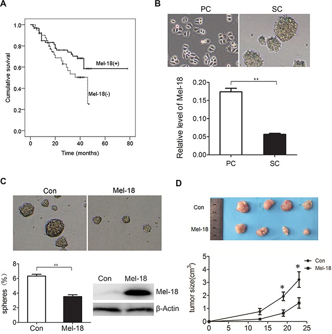 Mel-18 negatively regulated the self-renew of gastric cancer stem like cells A. Patients with Mel-18 positive expression survived longer than those with Mel-18 negative expression. Kaplan-Meyer survival curves were plotted as cumulative survival vs months according to Mel-18 expression (negative or positive) in cancer samples in patients with gastric cancer. The expression of Mel-18 was detected by Immunohistochemical (IHC) Assay. B. The expression of Mel-18 mRNA was downregulated in spheroid cells (SC) compared with that in parental adherent cells (PC). Tumorigenic spheres were derived from SGC7901 gastric cancer cell line in serum-free media containing <t>EGF</t> and <t>bFGF</t> and then photographed (upper pane). Fold change of Mel-18 in PC and SC was analyzed by QRT-PCR (lower panel). Total RNA of parental adherent cells and spheroid cells were extracted using TRIzol reagent (Invitrogen) and cDNA synthesis were performed as manufacturer's protocol. For Mel-18 mRNA, GAPDH acted as an internal control. C. Overexpression of Mel-18 reduced self-renew of gastric cancer stem like cells. The self-renew ability was analyzed by serum-free culture spheres formation and photographed (upper pane). The percentage of spheres formed was calculated and plotted (lower left panel), and overexpression of Mel-18 in SGC-7901 cells was determined by Western blot ( lower right panel ). Stable cell lines expressing Mel-18 was generated by transfection of Mel-18 overexpressing plasmid and selected by puromycine. Con: cells transfected with control vector; Mel-18: cells transfected with Mel-18 overexpressing plasmids. D. Mel-18 overexpression inhibited in vivo tumorigenecity of SGC7901 cells. In vivo tumorigenecity was detected by subcutaneously cancer cells injected SCID mice model. Suppressed tumor size after SGC7901 injected subcutaneously in one rear flank of severe combined SCID mice. Mel-18-overexpressing SGC-7901 cells or control cells were injected subcutaneously into the flanks 