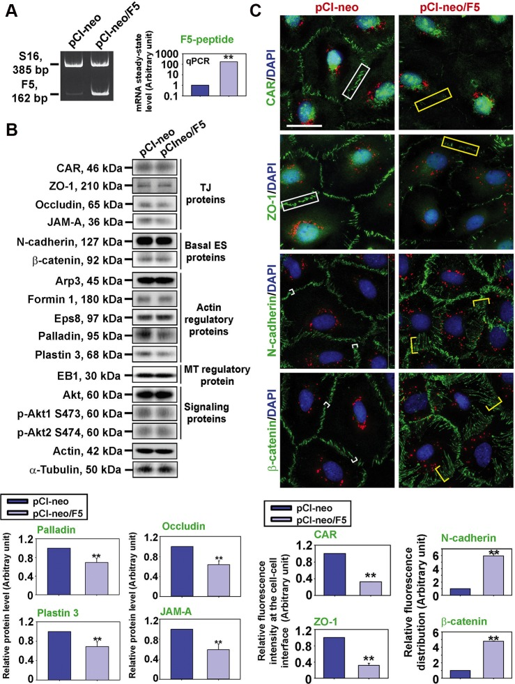 F5-peptide perturbs distribution of BTB-associated proteins at the Sertoli cell-cell interface Sertoli cells were cultured alone for 3 day, and transfected with pCI-neo/F5 vs. pCI-neo vector alone (control) for 24 hr. Thereafter, cells were rinsed with F12/DMEM and terminated 24 hr later for RT-PCR and IF on day 5 vs. 48 hr later for IB on day 6. ( A ) Successful overexpression of F5-peptide was confirmed by RT-PCR and q-PCR by using a specific primer pair ( Table S2 ) specific to F5-peptide. S16 served as a loading control for RT-PCR. GAPDH served as an internal control for q-PCR. ( B ) The steady-state levels of TJ proteins, basal ES proteins, actin regulatory proteins, MT regulatory protein, and signaling proteins found at the BTB were analyzed by IB. Overexpression of F5-peptide caused down-regulation of actin bundling proteins palladin and plastin 3 and also TJ proteins occludin and JAM-A. Actin served as a loading control. Histograms on the lower panel illustrate the down-regulation of occludin, JAM-A, palladin and plastin 3 following overexpression of F5-peptide. Each bar is a mean ± SD of n = 5 experiments, and data were normalized against actin. ** P