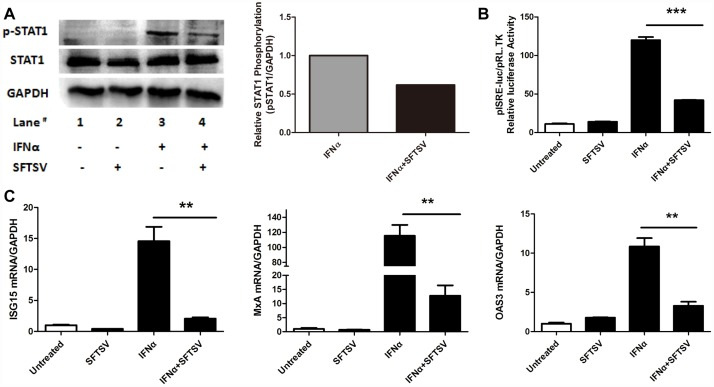SFTSV inhibits exogenous Type I IFN signaling pathway. (A) SFTSV inhibits the phosphorylation of <t>STAT1</t> . Hela cells were infected with SFTSV(MOI = 1.0) for2 hours and cultured for 36 hours before 100IU/ml IFNα was added for 15 minutes,and total protein were collected for WB and densitometry analysis for p-STAT1. (B) SFTSV suppresses ISRE activity. Hela cells were co-transfected with ISRE-luc plasmid 2μg per well and pRL-TK plasmid 2ng per well, then Hela cells were infected with SFTSV (MOI = 1.0) for 2 hours and cultured for 24hours, then we used 100IU/ml IFNα to stimulated the Hela cells for 24 hours, and samples were collected for dual-luciferase reporter assay. (C) SFTSV down –regulates the expression of ISGs. Hela cells were infected with 1.0MOI SFTSV for2 hours and culturedfor24hours, then treated with 100IU/ml IFNα for 12 hours, and total RNAs were isolated with Trizolreagent, The levels of ISG15, MxA, OAS3, GAPDH mRNA were measured by quantitative RT-PCR. Data were presented as mean± SD, n = 3. **p