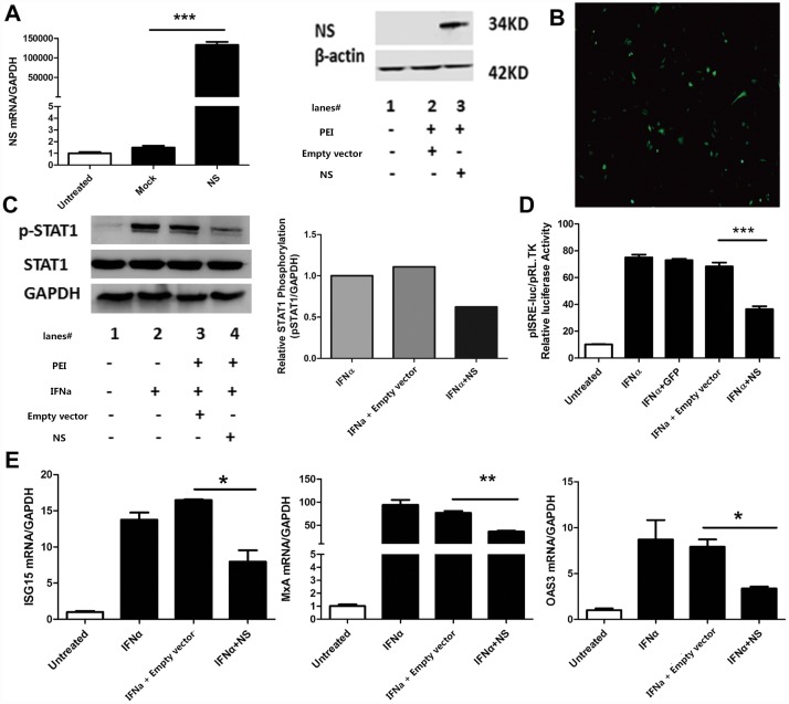 SFTSV inhibits exogenous IFNα-induced Jak/STAT signaling pathway through NSs. (A) NSs of SFTSV expresses in Hela cells successfully. Hela cells were transfected with empty vector pcDNA3.1 plasmid or NSs plasmid for 48hours, and total RNA were prepared with Trizol reagent, cDNA were harvested with reverse transcriptase for real time quantitative PCR. Protein samples were harvested for WB analyzed. (B) Expression of GFP protein in Hela cells. GFP-expressing plasmid DNA was transfected into Hela cells for 48 hours and GFP expression was observed under immunofluorescence microscope (200×). (C) NSs inhibits the phosphorylation of STAT1. Hela cells were transfected with NSs plasmid or empty vector pcDNA3.1 for 36 hours before IFNα was added to stimulate the cells for 15minutes. Total proteins were collected with protein lysis buffer for WB and densitometry analysis of western blot datafor p-STAT1. (D) NSs suppresses the ISRE activity . Hela cells were co-transfected with pISRE-luc plasmid and pRL-TK plasmid together with NSs plasmid, GFP-expressing plasmid or empty vector pcDNA3.1 plasmid for 24hours, and IFNα (100IU/mL)were added to the cells for 24hours, then samples were collected for dual-luciferase reporter assay. (E) NSs down-regulates the expression of several ISGs. Hela cells were transfectd with NSs plasmid or empty vectorpcDNA3.1 plasmid for 36hours, then we added IFNα (100IU/ml) to the cells for 12hours,RNA were collected with Trizol reagent, cDNA were used for real time quantitative PCR. Data were presented as mean± SD, n = 3.*p
