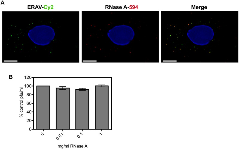 ERAV is co-internalized with RNase A but infectivity is not compromised. A) Representative images of HeLa Ohio cells infected with ERAV conjugated to Cy2 (green, left panel) and RNase A-DyLight594 (red, middle panel) fixed 15 min post infection. The degree of co-internalization (Merge, right panel) was measured for 10 random cells (R = 0.86 +/- 0.09 (SD). Nuclei were stained with Hoechst (blue). Scale bar is 5 μm. B) Plaque assay of ERAV in the presence of 0–1 mg/ml RNase A. Plaque forming units (pfu) were expressed as percentage of no RNase A control. Data are from three independent experiments with error bars showing standard error.